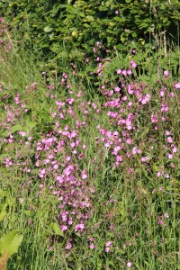 Hedgerow pink - campion